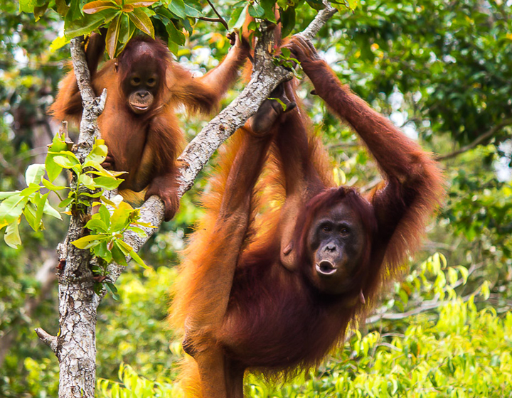 Visit Gomantong, Sukau, Ox-Bow-Lake and Orang Utans
